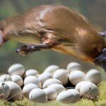 Ornitoringii: Știm de ce sunt atât de ciudați