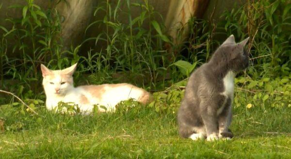 Pisicile ne cred pisici mai mari, experți în mâncare